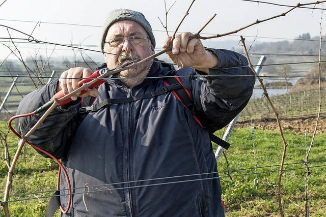 WG Ettenheim kündigt Mitgliedschaft beim Winzerkeller Breisach