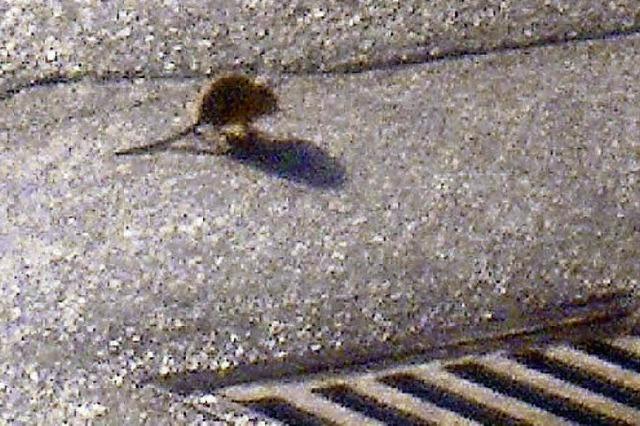 Wo sich Ratten scheinbar schon länger pudelwohl fühlen