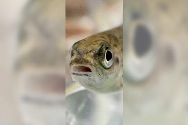 Neue Aufstiegschancen für den Lachs