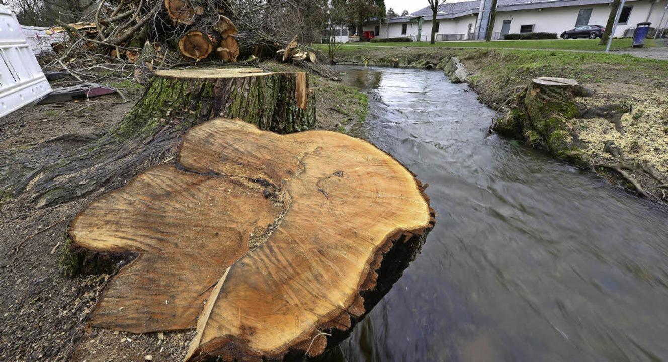 Die Bäume am Haslacher Dorfbach fielen, um der Natur etwas Gutes zu tun.  | Foto: Ingo Schneider