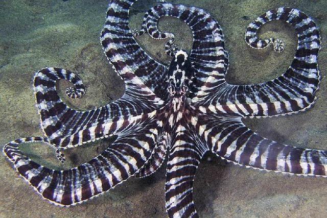 Der Oktopus ist ein vielseitiger Schauspieler unter Tieren