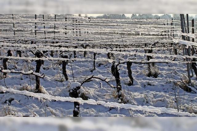 Kalte Pracht im Weinberg