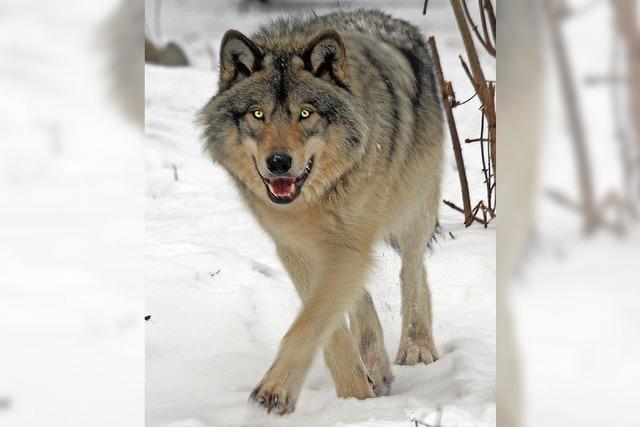 Über den zutraulichen Wolf Kurti freuen sich nicht alle