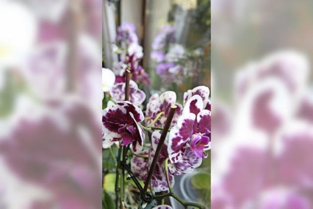 Orchideen-Blütenpracht
