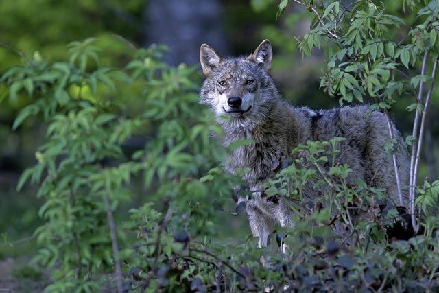 Im Waldhaus dreht ich bei einem Aktionstag alles um den Wolf