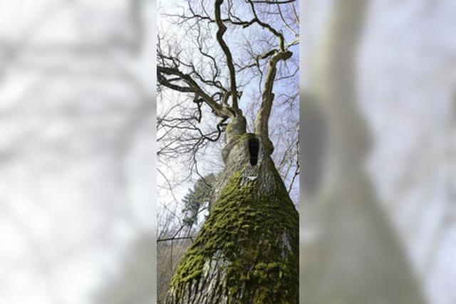 Von der 350 Jahre alten Eiche bleibt nur ein Torso