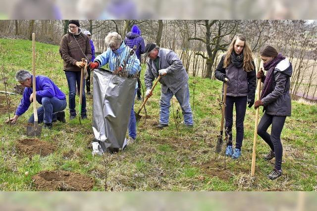 Malterdinger pflanzen Bäume zum 1000-jährigen Gemeindejubiläum
