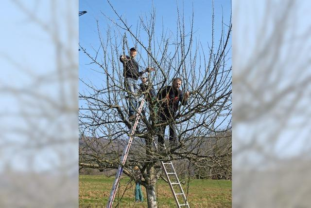 Öflingen: Schnitt verjüngt alte Obstbäume