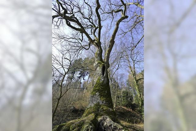 Ende eines Naturdenkmals