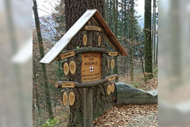 Waldtraut - der höchste Baum Deutschlands
