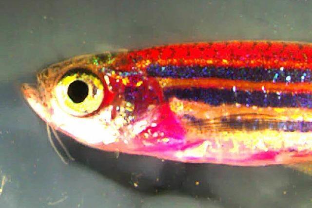 Forscher haben Regenbogenfisch geschaffen