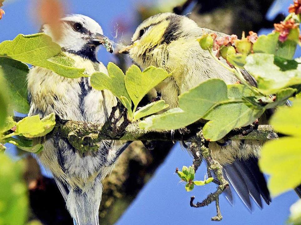 Gehen die Insekten verloren, leiden au...ie von ihnen leben – etwa Vögel.  | Foto: Boris Roessler