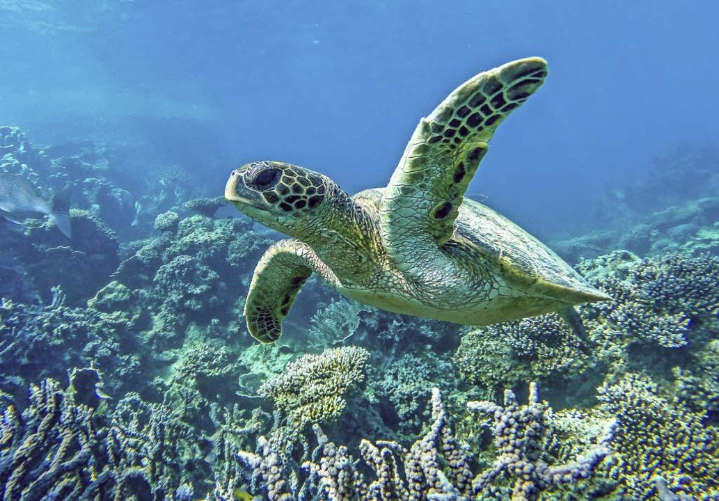 Schwerelos an der australischen Coral Coast: eine Schildkröte   | Foto: Tourism Western Australia (3)