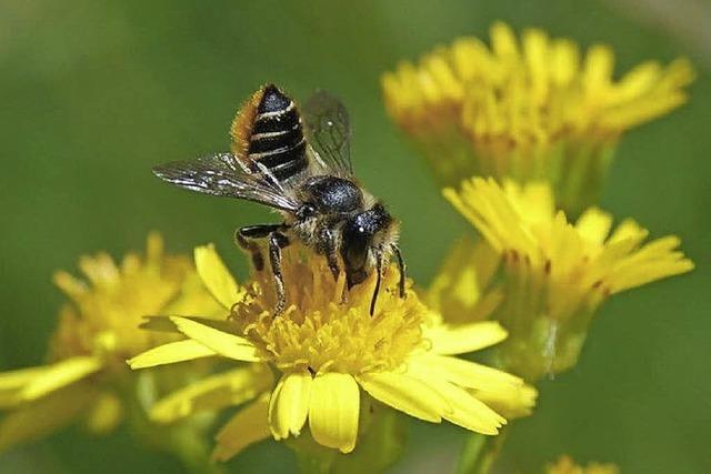 Die Wildbienen stehen im Mittelpunkt einer Ausstellung in der Stadtbibliothek Freiburg