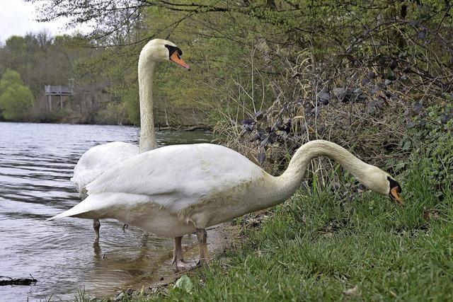 Ornithologisches Gutachten für den Opfinger See ist fertig