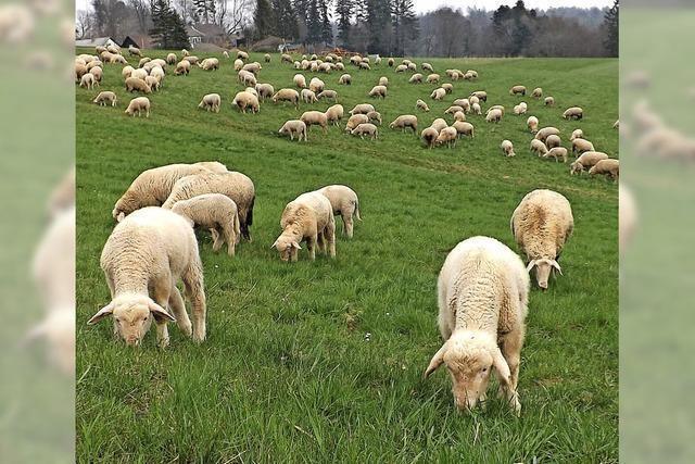Schafherde in Rickenbach eher eine Seltenheit