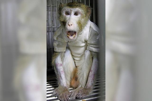 Affe lebte mit Schweineherz