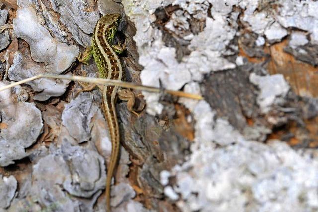 Reptilien behindern Riesenbahnprojekt