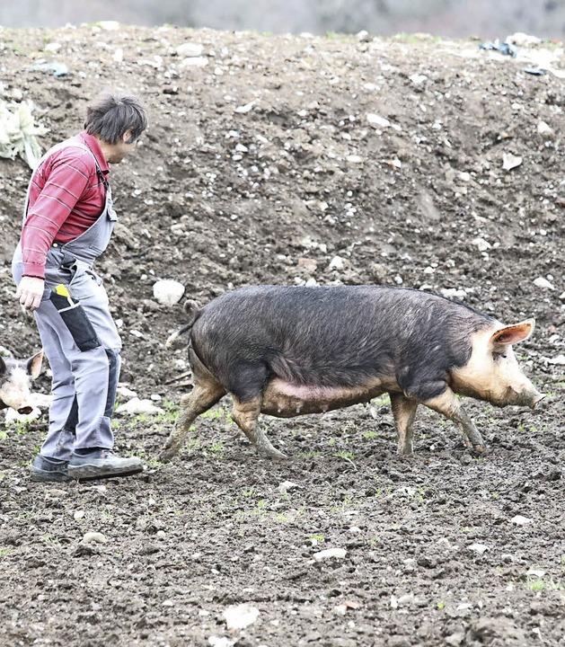 Nahezu alle Schweine konnten gerettet werden.  | Foto: Wilfried Dieckmann