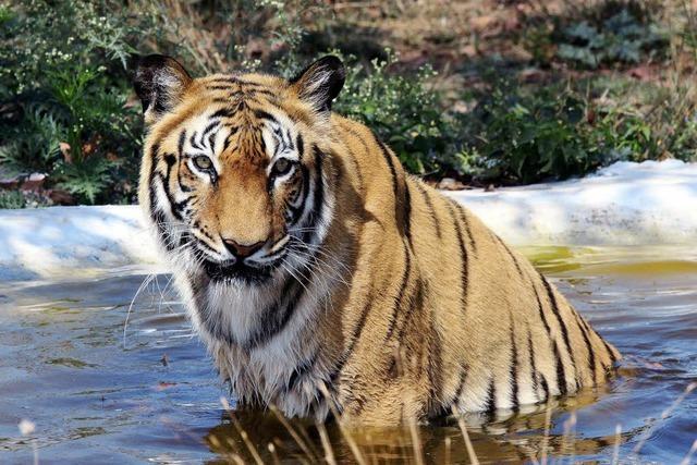 Weltweit wächst die Tiger-Population