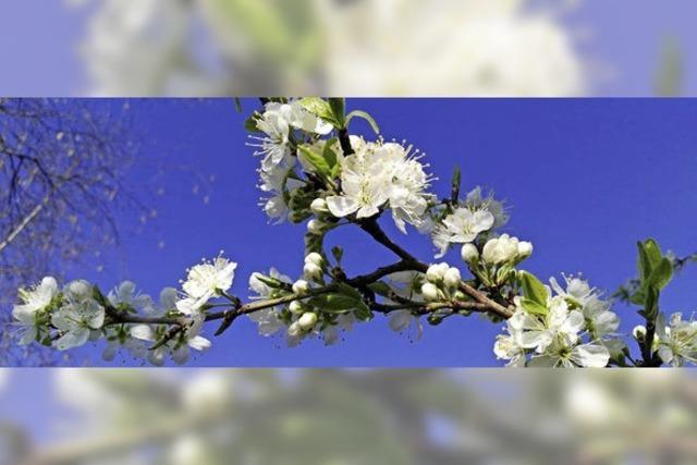 Obstbaumblüte am Kaiserstuhl