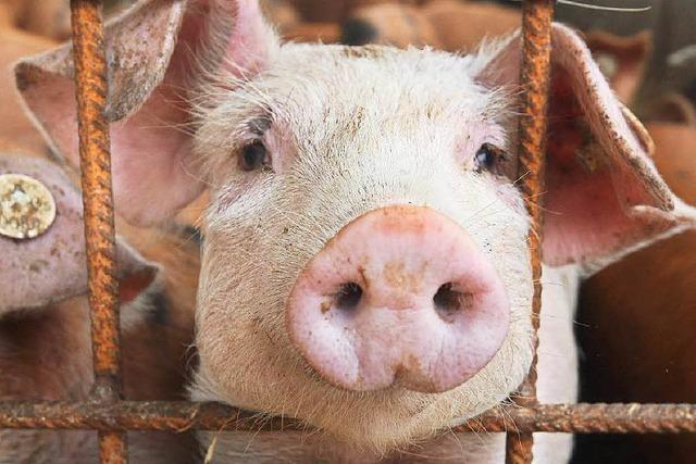 So leben die glücklichen Bio-Schweine in Ehrenstetten