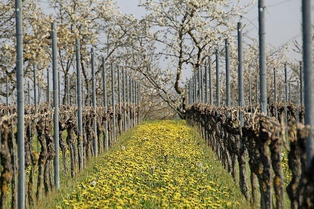 Es grünt und blüht, die Weinmesse ruft