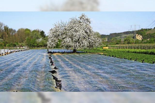 Obstbauern bibbern wegen der Kälte