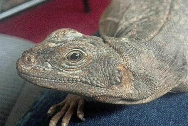 Reptil mit Blähbauch