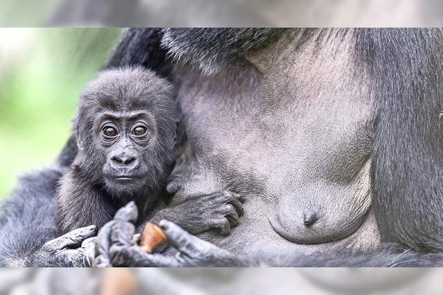 Babysitten bei Gorillas im Basler Zoo