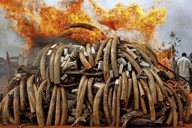 Elefanten - gefährlicher Krieg um das weiße Gold