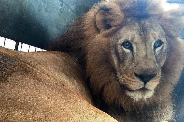 Tierschutzorganisation bringt 33 Löwen nach Afrika