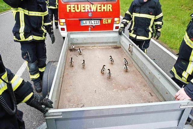 Gänsefamilie mit elf Küken verursacht Verkehrschaos – und wird von der Feuerwehr gerettet