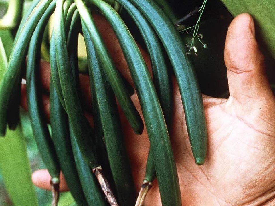 Die grünen Schoten einer Vanille-Pflanze  | Foto: cdt reunion