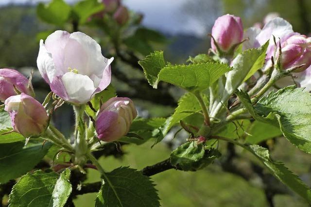 Blüte am Rebberg
