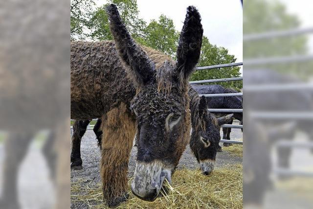 Tag des Esels auf dem Mundenhof