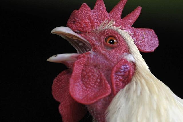 Wann darf ein Hahn krähen?