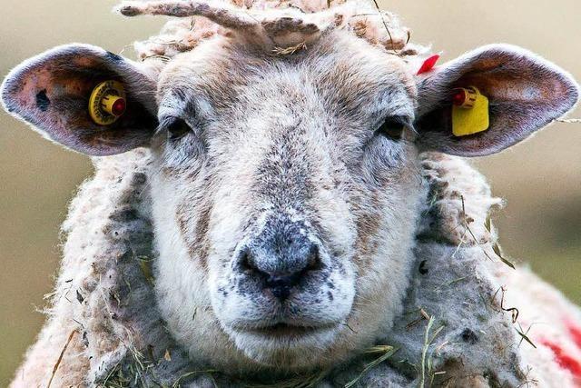 Schaf irrt tagelang über den Schlossberg – jetzt ist es wieder bei seiner Herde