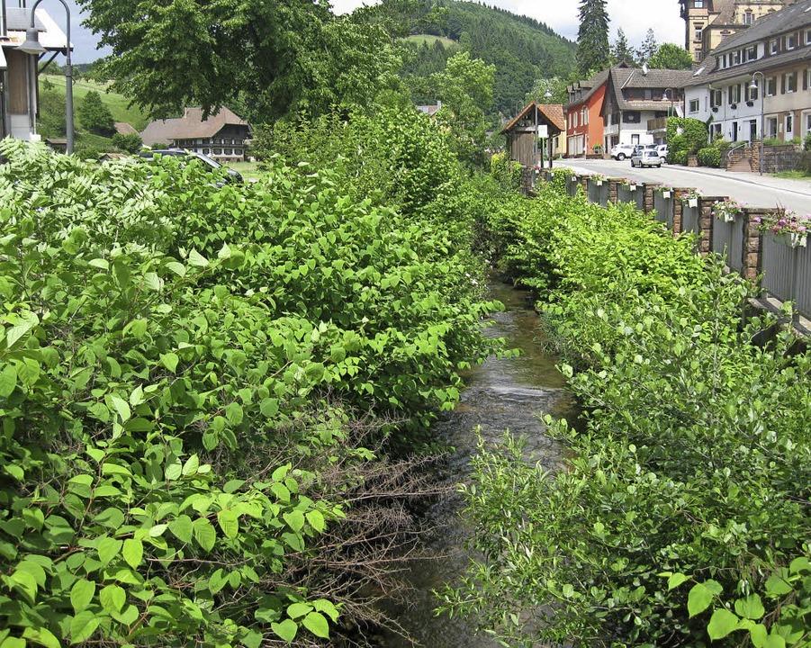 Der Japanknöterich verdrängt die heimische Flora.     Foto: lev