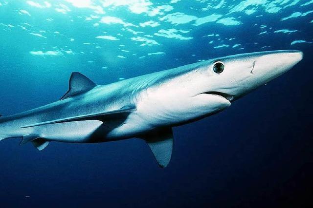 Ein Blauhai sorgte auf Mallorca für Unruhe