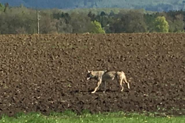 Wolf auf der Baar gesichtet – lebend