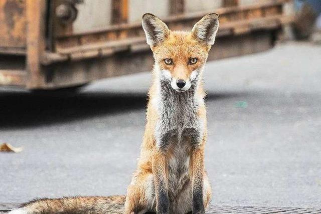 Warum es den Fuchs in die Stadt zieht