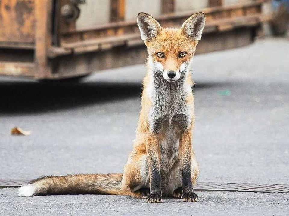 Die Scheu verloren: Den Fuchs zieht es in die Stadt.    Foto: imago stock&people