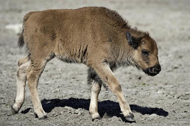 Vermeintliche Retter schuld am Tod von Bison-Kalb