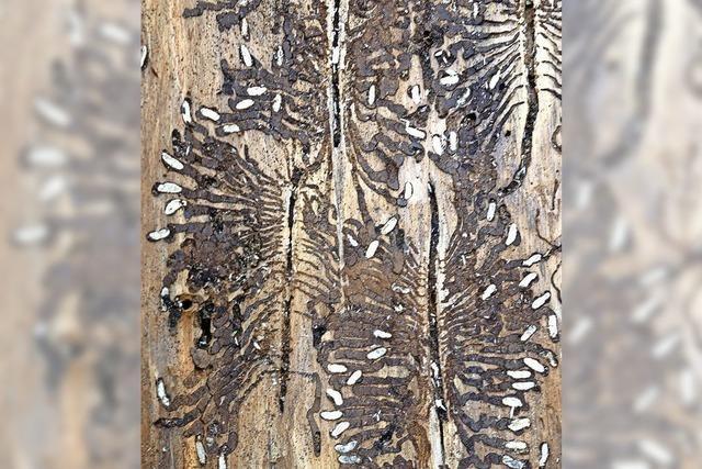 SCHAU MAL: Winziger Käfer, großer Schaden