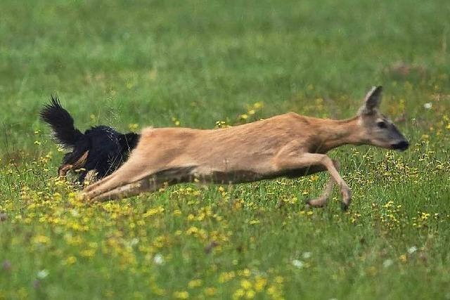 Wildernder Hund hetzt drei Rehe zu Tode