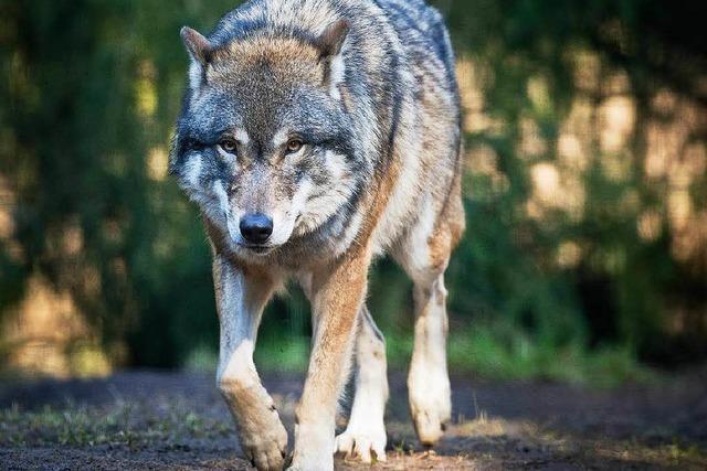 Wolf auf der Baar: Lebendig – aber krank?