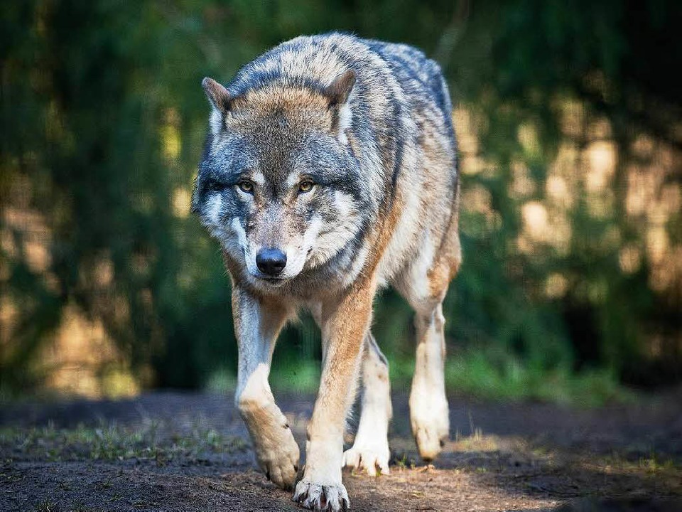 Der Wolf ist zurück: Während er in ein...ein Wolf in freier Wildbahn entdeckt.   | Foto: Patrick Pleul/dpa