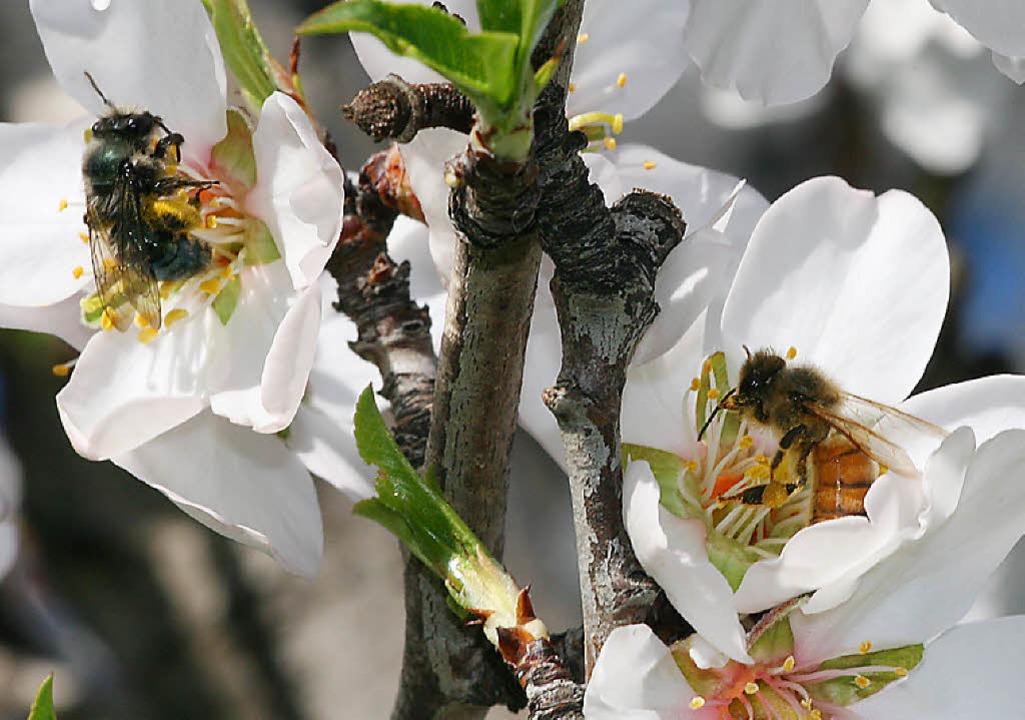 Links krabbelt eine Wild- und rechts eine Honigbiene.  | Foto: Alexandra-Maria Klein