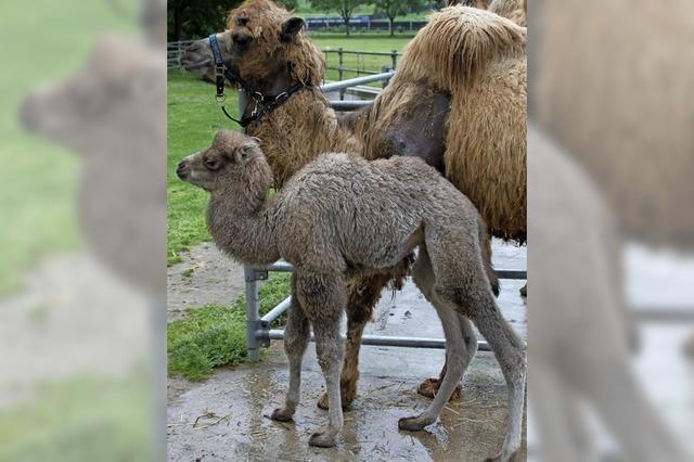 Kamelfohlen Amir ist da